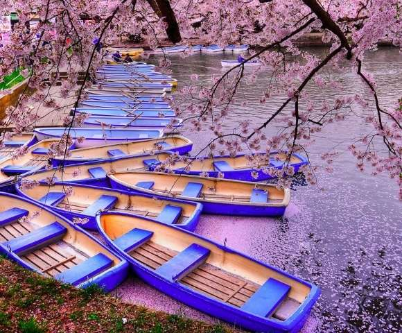 Cherry Blossom Blooms of Japan Main Image