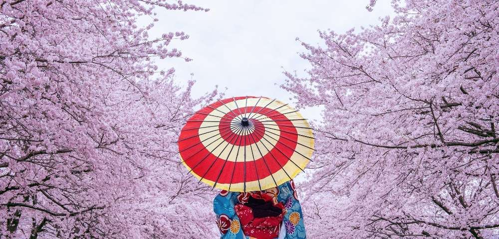 Cherry Blossom Blooms of Japan Image 3
